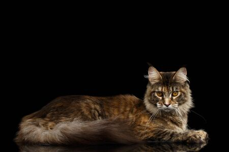 gaze: Adorable Maine Coon Cat Lying and Looks Gaze Isolated on Black Background