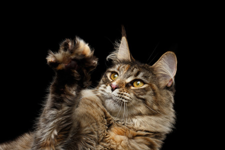 Closeup Maine Coon Cat Head, Looks in Paw Isolated on Black Background Stock Photo