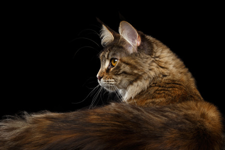 furry tail: Closeup Portrait of Maine Coon Cat Head in Profile view with Furry Tail Isolated on Black Background