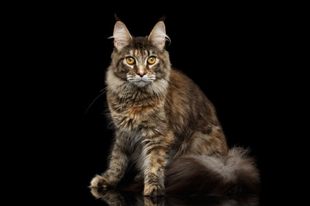 furry tail: Tabby Maine Coon Cat Sitting with Furry Tail Isolated on Black Background, Front view