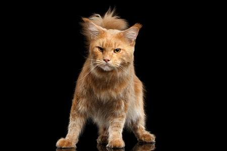 Angry Ginger Maine Coon Cat Standing and Gaze Looks Isolated on Black Background Stock Photo