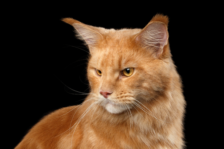 gaze: Closeup portrait of Ginger Maine Coon Angry Cat Head Gaze Looks at Side Isolated on Black Background Stock Photo