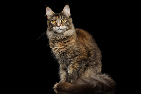 furry tail: Tabby Maine Coon Cat Sitting with Furry Tail and Yellow eyes Isolated on Black Background, Front view Stock Photo