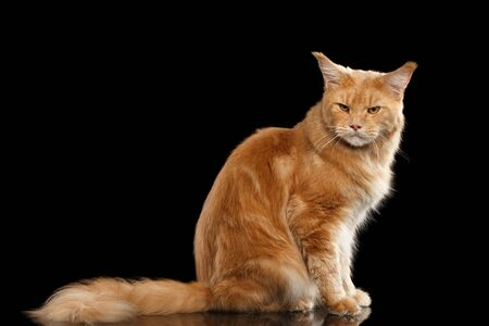 furry tail: Angry Ginger Maine Coon Tabby Cat Sitting with Furry Tail and Gaze Looking in Camera Isolated on Black Background