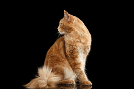 furry tail: Ginger Maine Coon Cat with Furry Tail in Profile view Isolated on Black Background
