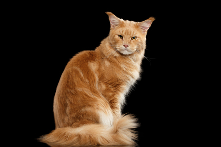 furry tail: Angry Ginger Maine Coon Cat Sitting with Furry Tail and Gaze Looking in Camera Isolated on Black Background Stock Photo