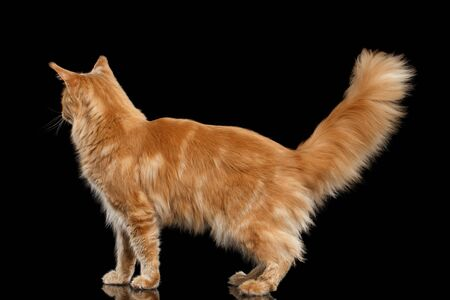 furry tail: Tabby Ginger Maine Coon Cat Standing with Furry Tail Isolated on Black Background, Profile view Stock Photo