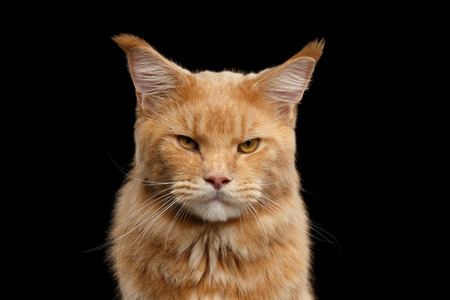 Closeup portrait of Ginger Maine Coon Angry Cat Head Gaze Looks Isolated on Black Background Stock Photo