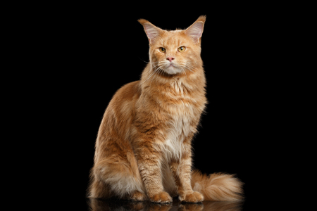 furry tail: Tabby Ginger Maine Coon Cat Sitting with Furry Tail Isolated on Black Background