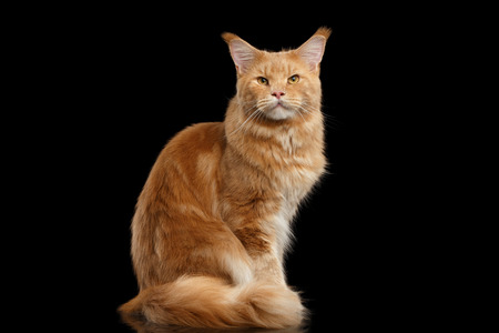 furry: Tabby Ginger Maine Coon Cat Sitting with Furry Tail Isolated on Black Background