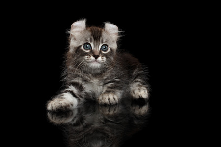 american curl: Cute American Curl Kitten with Twisted Ears Lying on Isolated Black Background