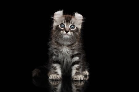 american curl: Cute American Curl Kitten with Twisted Ears Sits on Isolated Black Background Stock Photo