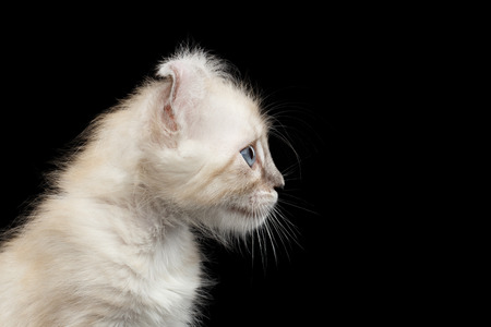 american curl: Closeup American Curl White Kitten with Twisted Ears and Blue eyes Looking Curious Isolated Black Background, Profile view Stock Photo