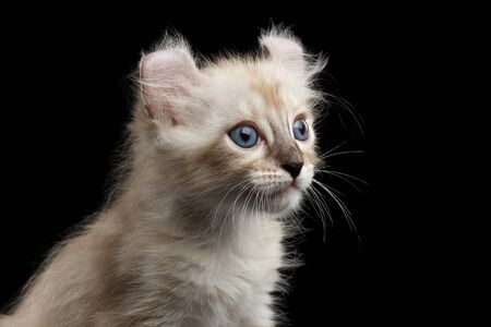 american curl: Closeup Portrait of Cute American Curl White Kitten with Twisted Ears and Blue eyes Looking Curious Isolated Black Background, Profile view