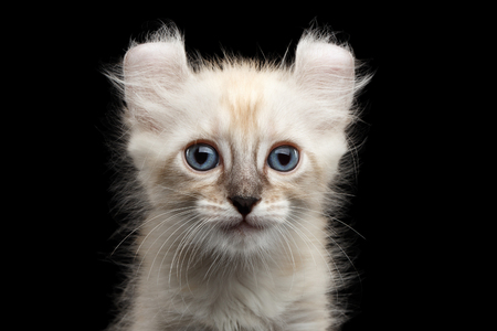 american curl: Closeup Portrait of Cute American Curl White Kitten with Twisted Ears and Blue eyes Looking Curious Isolated Black Background, Front view Stock Photo