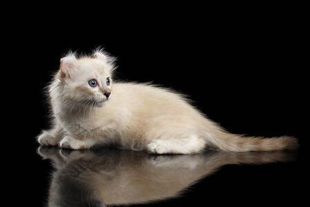 american curl: Cute American Curl White Kitten with Twisted Ears and Blue eyes Lying on Mirror, Looking back, Isolated Black Background, Side view