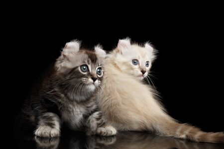 american curl: Two Cute American Curl Kittens with Twisted Ears and Blue eyes Looking back, Isolated Black Background