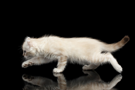 american curl: Playful American Curl White Kitten with Twisted Ears Running on Mirror Isolated Black Background