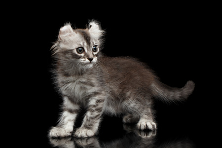american curl: Playful American Curl Kitten with Twisted Ears Standing on Isolated Black Background
