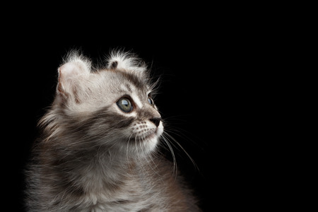 american curl: Closeup American Curl Kitten with Twisted Ears and Blue eyes Looking up Isolated Black Background, Profile view