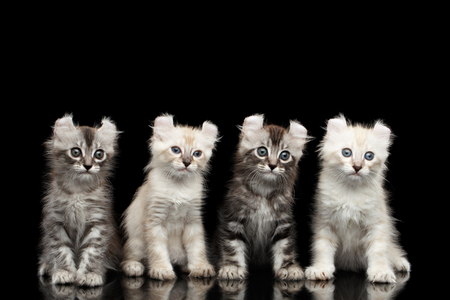 american curl: Four Cute American Curl Kittens with Twisted Ears, Blue eyes, Sitting and Looking Curious, Isolated Black Background, Front view Stock Photo