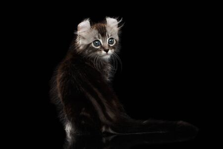 american curl: Adorable American Curl Kitten with Twisted Ears Sitting on Mirror and Looking Back Isolated Black Background, Rare color Stock Photo