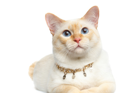 bobtail: Close-up Beautiful Breed Mekong Bobtail Cat with Blue eyes and Chain, Lying on Isolated White Background, Color-point Fur Stock Photo