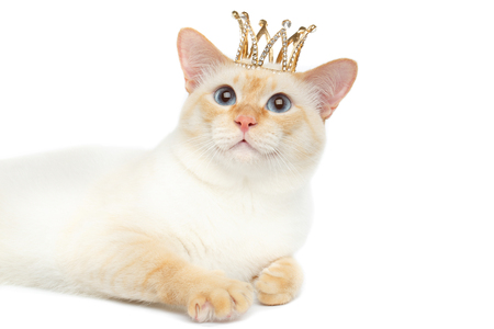 crown tail: Close-up Fantastic Breed Mekong Bobtail King Cat with Blue eyes and Crown on Head, Lying, Isolated White Background, Color-point Fur