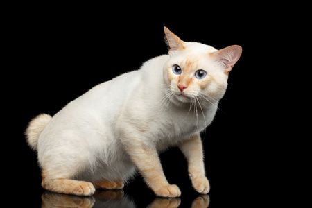 bobtail: Fantastic Breed Mekong Bobtail Male Cat with Blue eyes, Curious Looking, Isolated Black Background, Color-point Fur without Tail