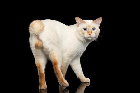bobtail: Fantastic Breed Mekong Bobtail Male Cat with Blue eyes, Posing and Curious Looking Back, Isolated Black Background, Color-point Fur without Tail