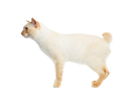 bobtail: Funny Breed Mekong Bobtail Cat Blue eyed, Standing and Looking Forward, Isolated White Background, Color-point Fur, without tail