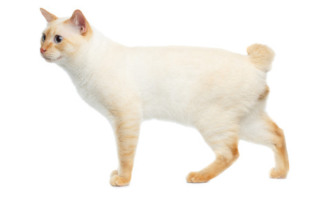 Funny Breed Mekong Bobtail Cat Blue eyed, Walks, Isolated White Background, Color-point Fur