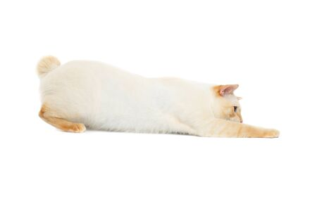 bobtail: Funny Breed Mekong Bobtail Cat Blue eyed, Hunting, Isolated White Background, Color-point Fur