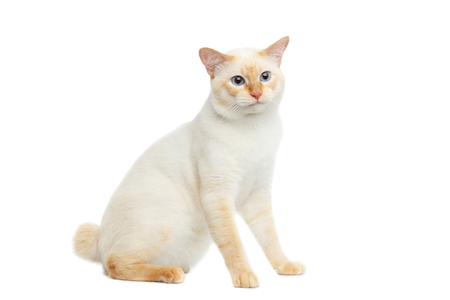 bobtail: Beautiful Breed Mekong Bobtail Cat with Blue eyes Sitting and Curious Looking on Isolated White Background, Color-point Fur