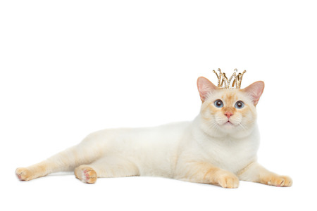 crown tail: Beautiful Breed Mekong Bobtail Cat Blue eyed, Lying with Crown on Head, Isolated White Background, Color-point Fur Stock Photo