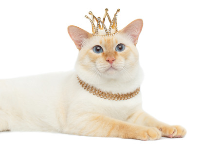 근접 아름 다운 품종 메콩 보 울 테리어 고양이 파란색 눈동자, 머리에 크라운과 함께 누워 격리 된 흰색 배경, 컬러 포인트 모피