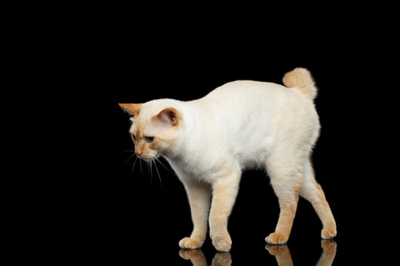 bobtail: Curious Breed Mekong Bobtail Cat Blue eyed, Standing and Posing, Isolated Black Background, Color-point Fur