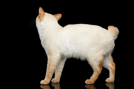 bobtail: Adorable Breed Mekong Bobtail Cat, Standing and Looking up, Isolated Black Background, Color-point Fur, Back view on Head