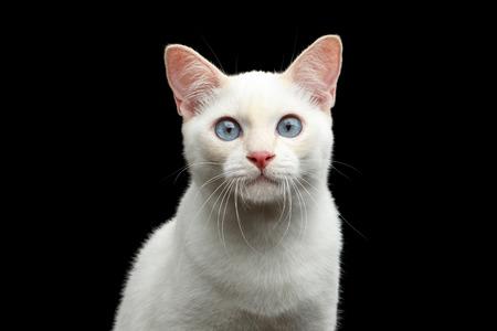 Close-up portret van prachtige blauwe ogen vrouwelijke kat van het Ras Mekong Bobtail, geïsoleerde zwarte achtergrond, kleur punt Beige vacht