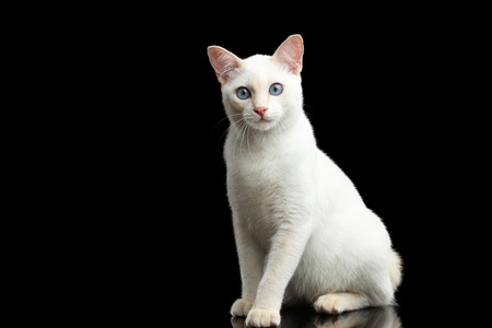 bobtail: Playful Blue eyed Cat of Breed Mekong Bobtail, Sitting and Curious Looks, Isolated Black Background, Color-point Fur