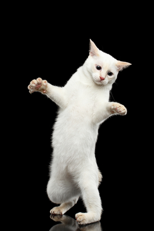 without legs: Funny Cat of Breed Mekong Bobtail without tail, Clumsy Standing on Hind Legs, Isolated Black Background, Color-point White Fur, learning to walk Stock Photo