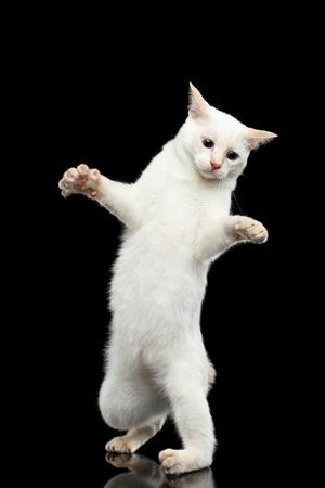 maldestro: Gatto divertente di razza Bobtail del Mekong, senza coda, Clumsy piedi sulle zampe posteriori, isolato sfondo nero, colore-punto pelliccia bianca, imparare a camminare