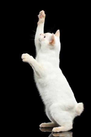 好奇心が強い猫の品種メコン ボブテイル尾なしキャッチする後肢の足の上に立って獲物分離黒背景、カラー ポイント白毛皮 写真素材