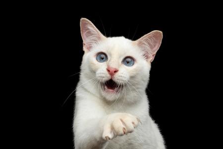 ojos negros: Primer plano Retrato de juguetones Mekong Bobtail Gato con los ojos azules, la boca abierta y la captura de su pata, aislados fondo Negro, Color de la piel blanca de punto