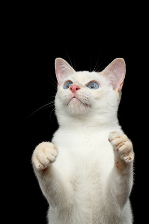 Close-up Portrait of Playful Mekong Bobtail Cat with Blue eyes, Standing and Raising up paws, want to Catch, Isolated Black Background, Color-point White Fur Stock Photo