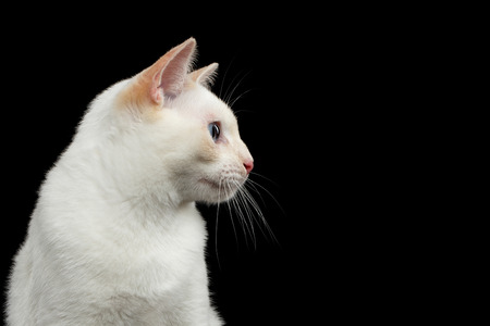 bobtail: Close-up Portrait of Mekong Bobtail Cat with Blue eyes in Profile view, Isolated Black Background, Color-point White Fur