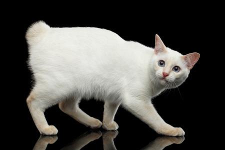 Bang voor de kat van het ras Mekong Bobtail zonder staart, Wandelen en opzoeken, geïsoleerd zwarte achtergrond, kleur-point Wit Bont Stockfoto