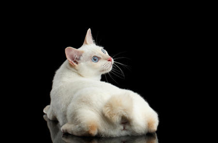 bobtail: Curious Cat of Breed Mekong Bobtail without tail, Lying and Looking up, Isolated Black Background, Color-point White Fur, Back view Stock Photo