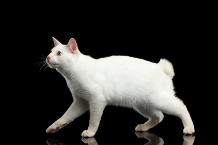 bobtail: Cat of Breed Mekong Bobtail without tail, Walking and Looking up, Isolated Black Background, Color-point White Fur