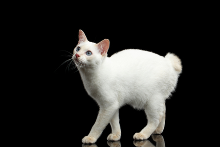 bobtail: Cat of Breed Mekong Bobtail without tail, Standing and Looking up, Isolated Black Background, Color-point White Fur